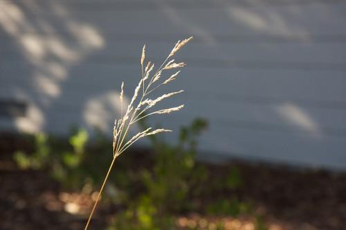tufted hair grass (Deschampsia caespitosa) in a yard