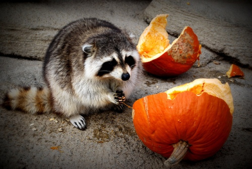 Raccoon chows down a pumpkin